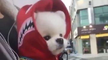 Cute Pomeranian Puppy Wears Bape Shark Hoodie